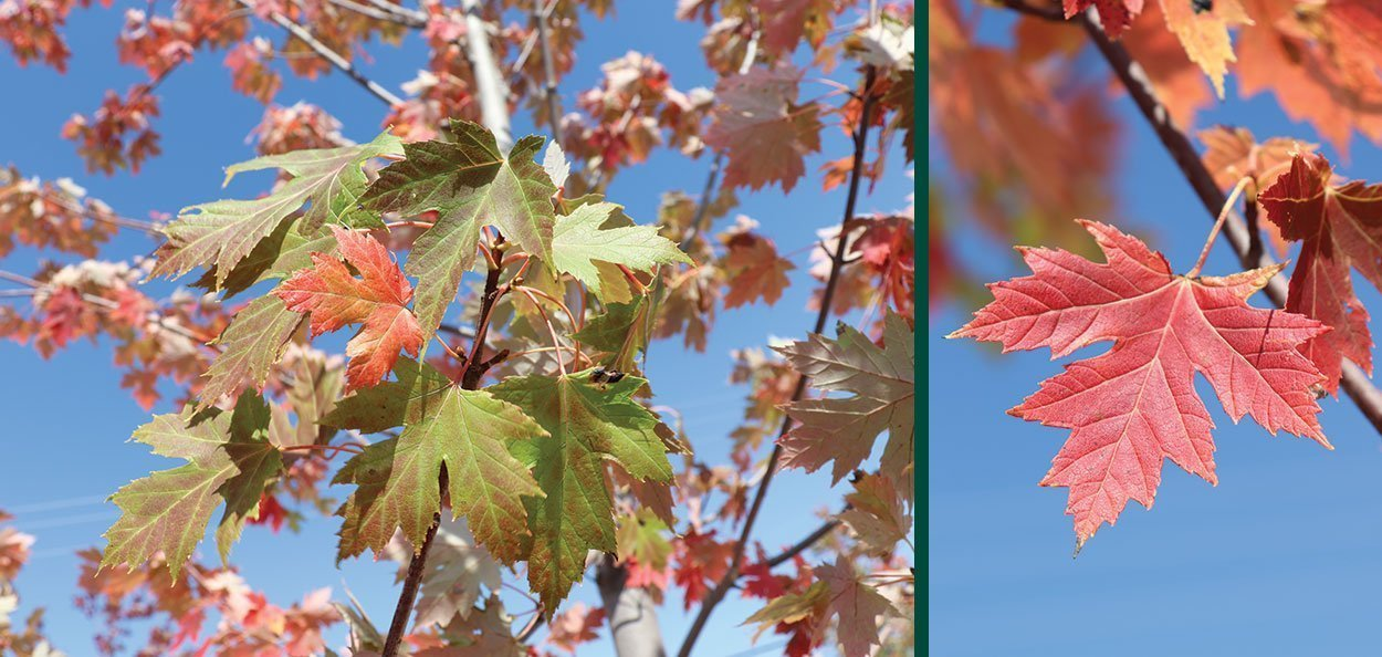 celebration maple acer x freemanii celzam leaves in fall color at johnson's nursery