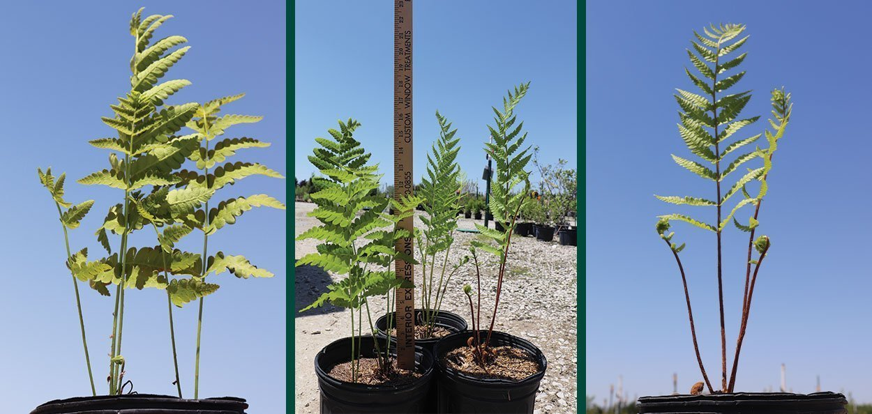 cinnamon fern osmunda cinnamomea wisconsin native ferns at johnson's nursery in menomonee falls