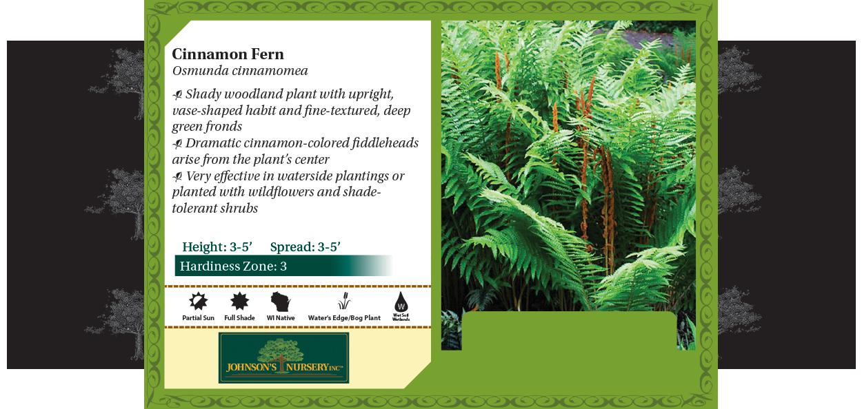 Cinnamon Fern Osmunda cinnamomea benchcard