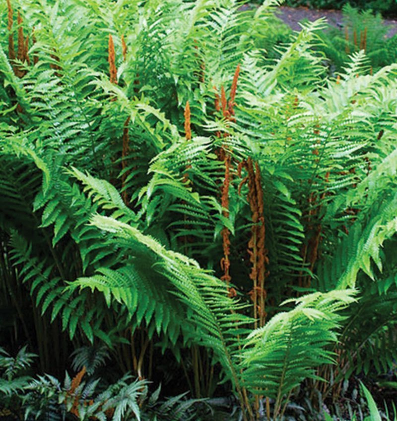 cinnamon fern osmunda cinnamomea wisconsin native ferns johnson's nursery ftimg