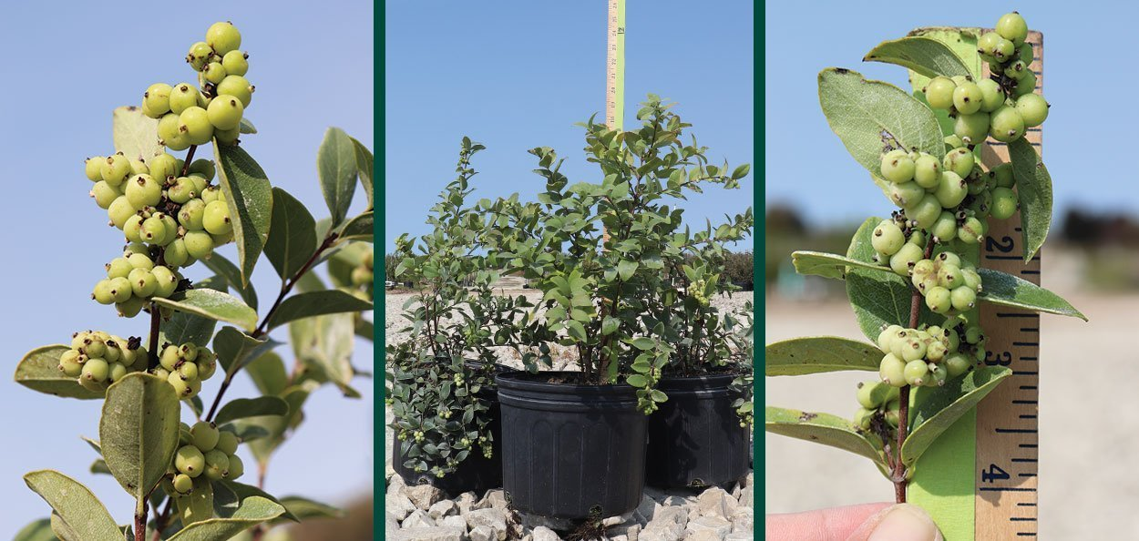 common snowberry symphoricarpos albus in salable #2 container at johnson's nursery with immature fruit berries