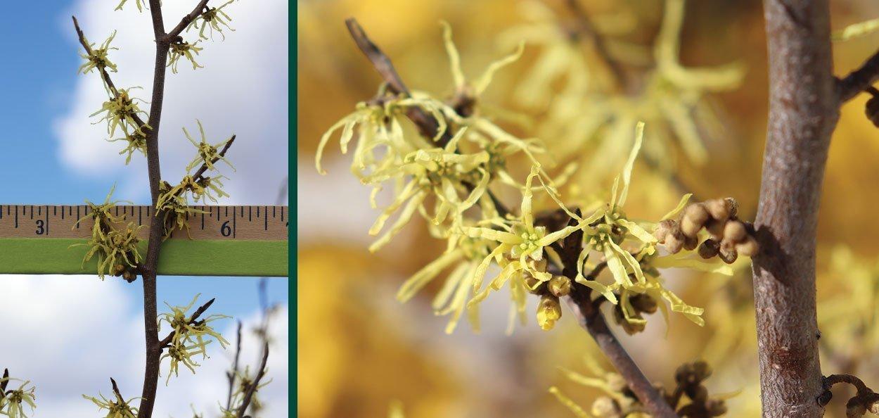 common witchhazel hamamelis virginiana for sale near you fall flower size measurement