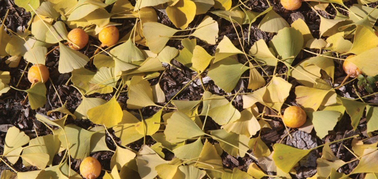 ginkgo biloba tree female seed fruit smelly bad smell