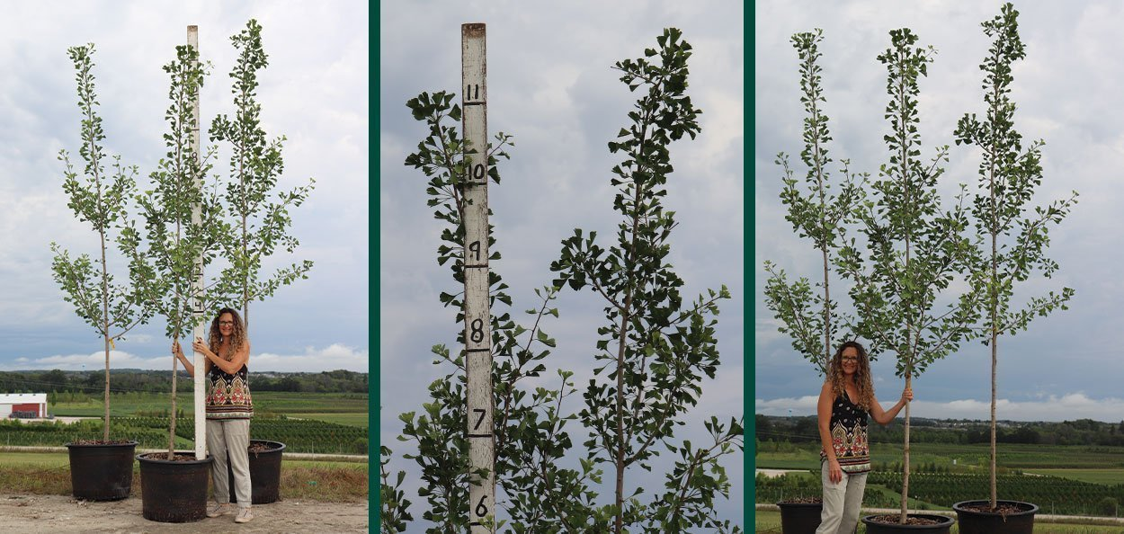 magyar ginkgo biloba #25 container trees at johnson's nursery in menomonee falls