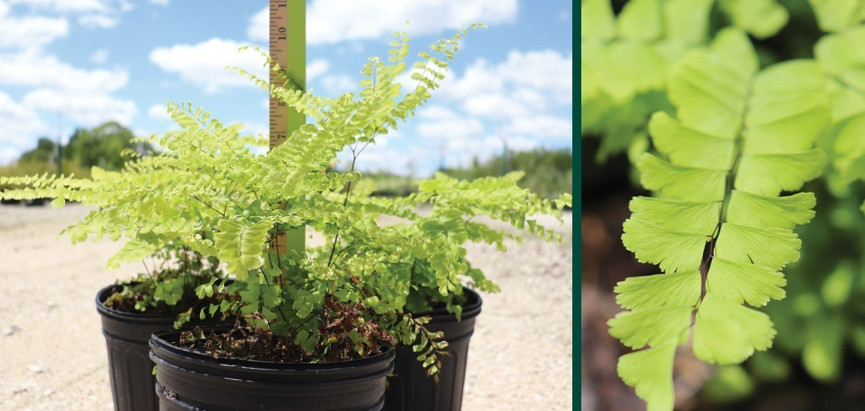 maidenhair fern adiantum pedatum wisconsin native ferns at johnson's nursery