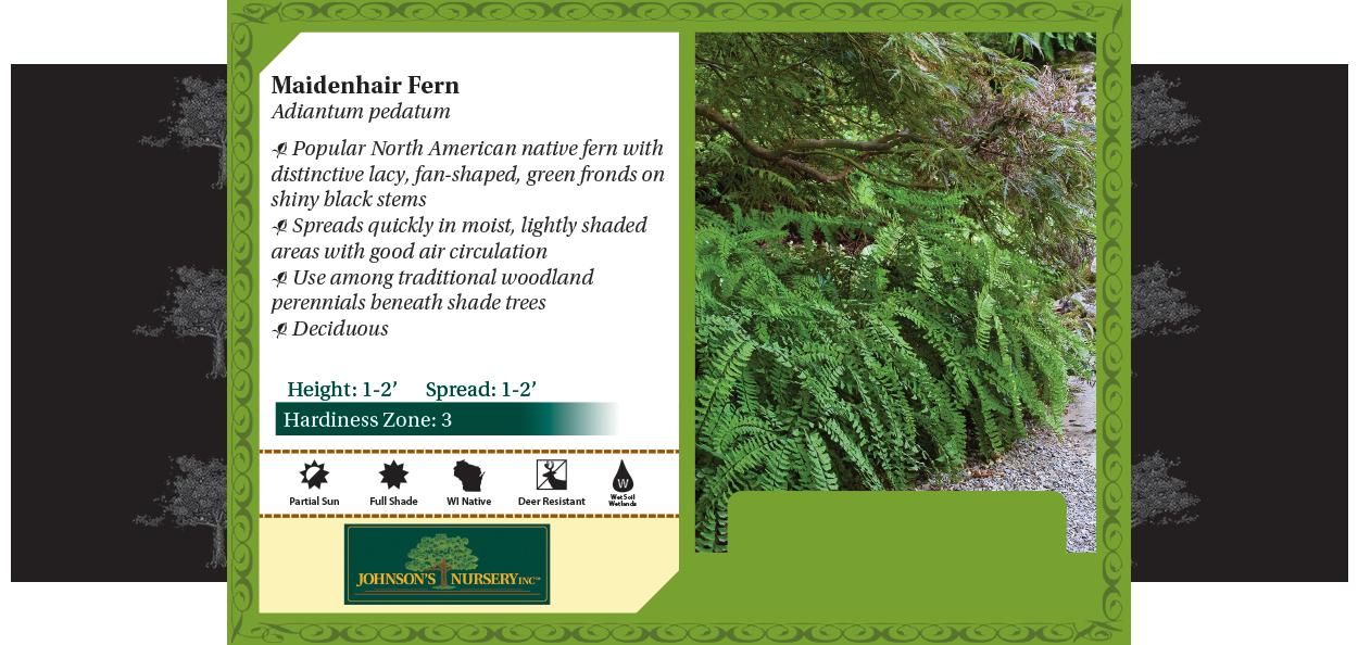 maidenhair fern Adiantum pedantum benchcard