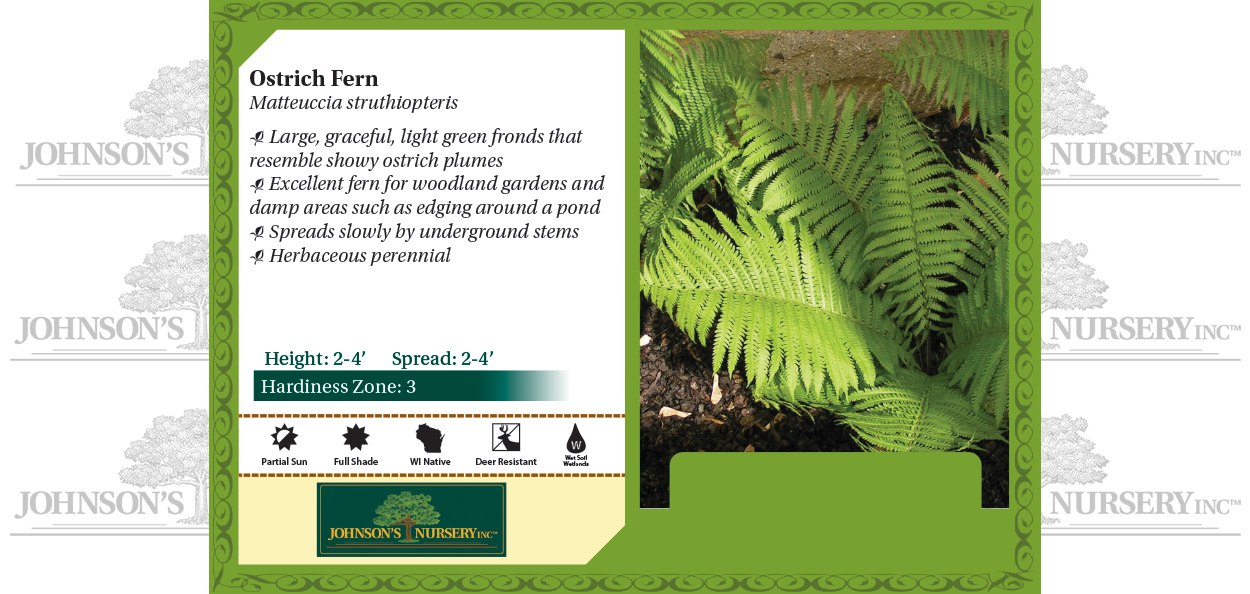 Ostrich Fern Matteuccia struthiopteris benchcard