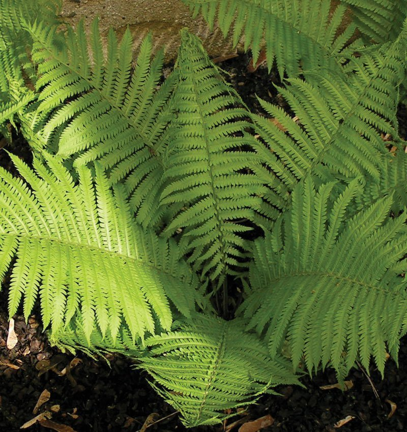 ostrich fern matteuccia struthiopteris wisconsin native fern ferns ftimg