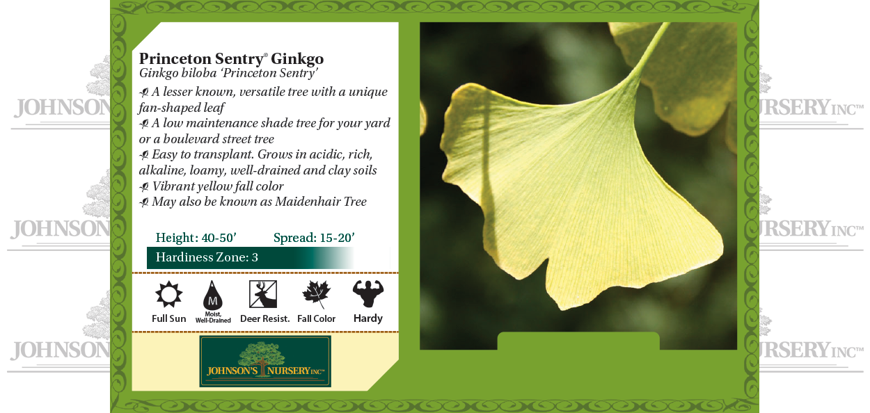 Maidenhair Tree Ginkgo biloba 'Princeton Sentry' benchcard