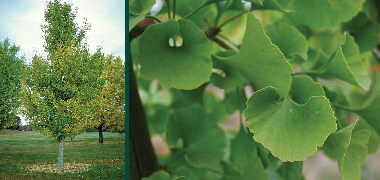 princeton sentry ginkgo biloba fan leaf green foliage asian garden landscape