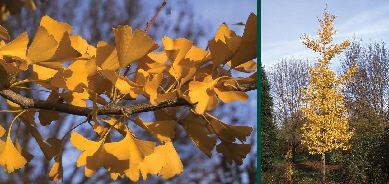 princeton sentry ginkgo biloba yellow fall color foliage shade tree