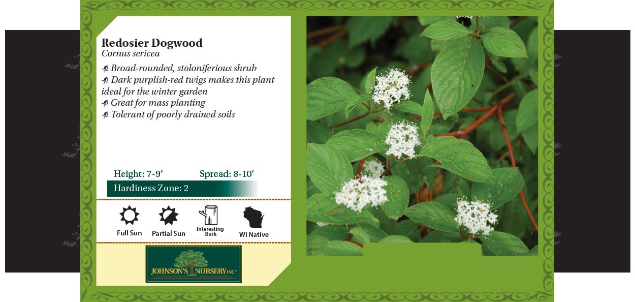 Redosier Dogwood, Redtwig Dogwood Cornus sericea benchcard