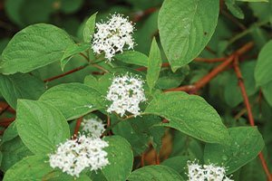 redosier dogwood redtwig cornus sericea wisconsin native shrub johnson's nursery catalog