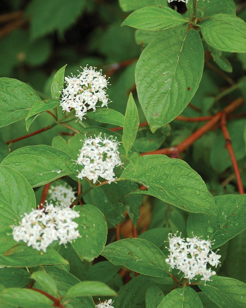 redosier dogwood redtwig cornus sericea wisconsin native shrub johnson's nursery ftimg