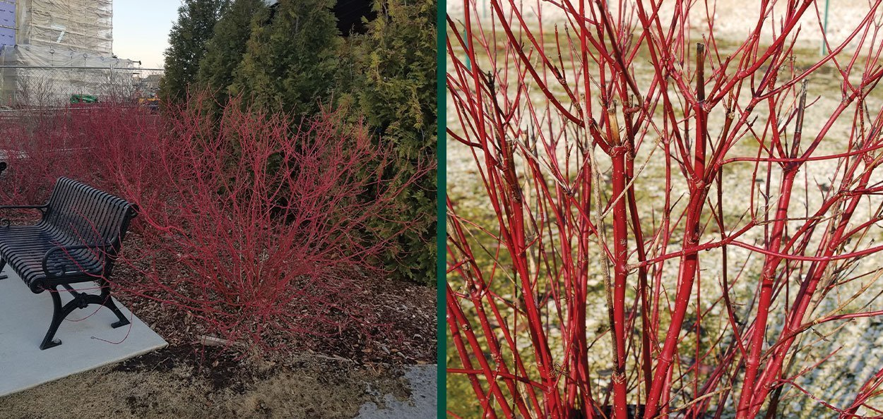 redosier dogwood redtwig cornus sericea wisconsin native shrub red twig stems winter interest
