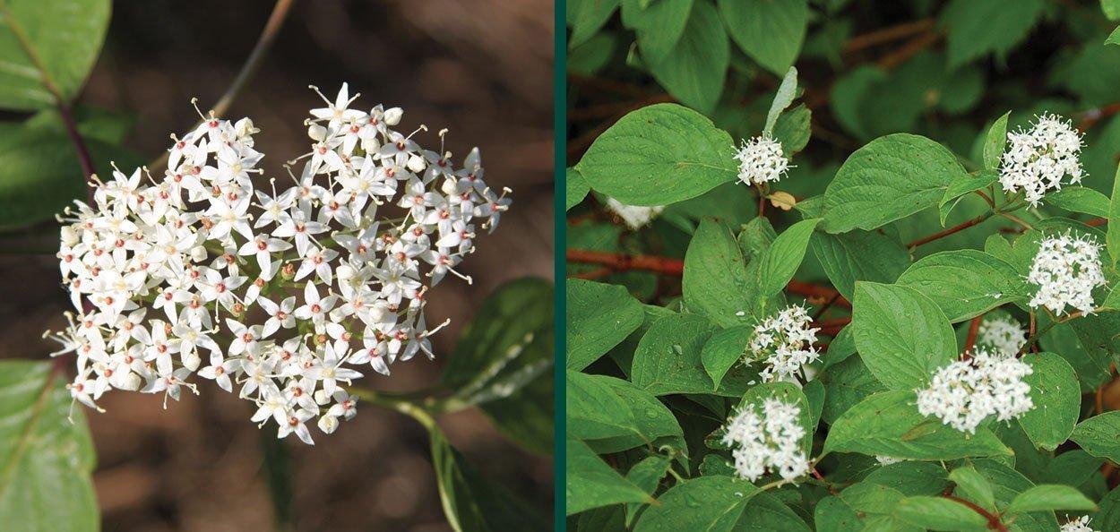 redosier dogwood redtwig cornus sericea wisconsin native shrubs white flower