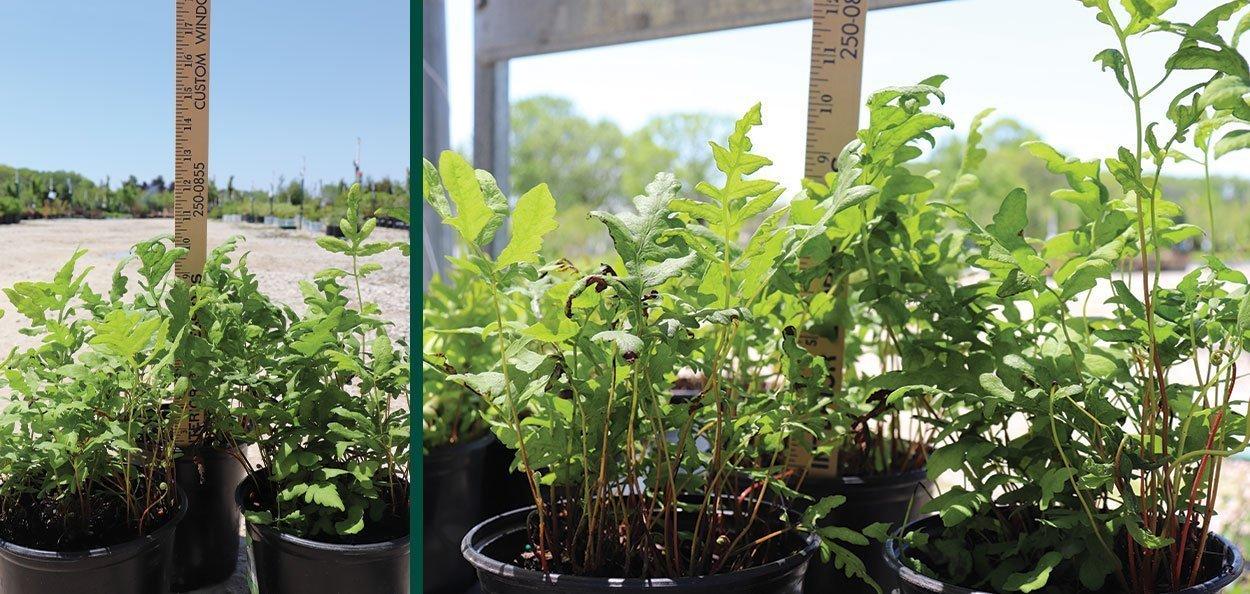 sensitive fern onoclea sensibilis wisconsin native ferns at johnson's nursery in menomonee falls