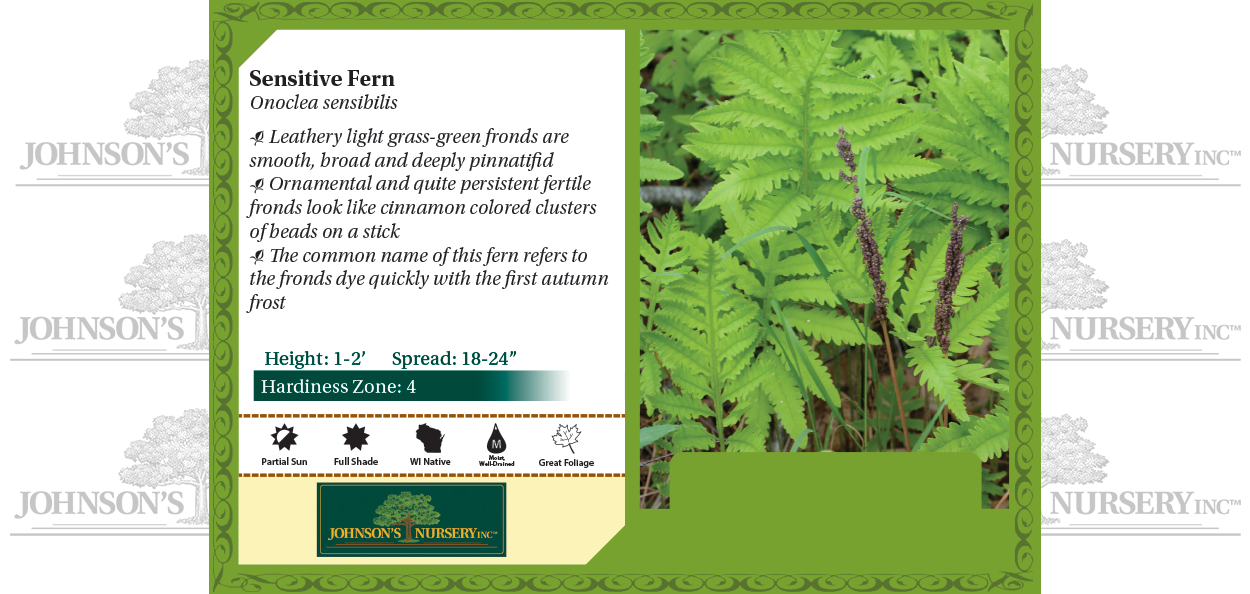 Sensitive Fern Onoclea sensibilis benchcard