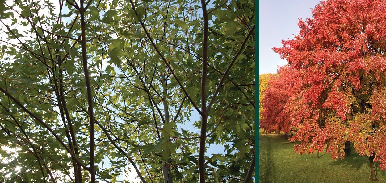 sienna glen maple acer x freemanii sienna branching