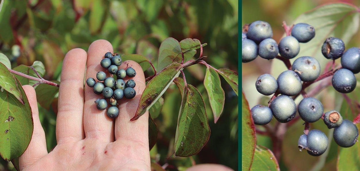 silky dogwood cornus amomum porcelain blue fruit clusters in late summer wildlife food