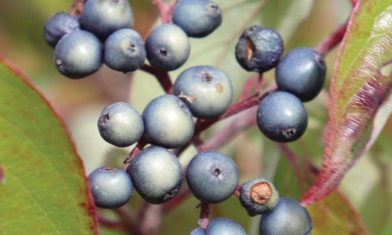 silky dogwood cornus amomum wisconsin native shrubs at johnson's nursery ftimg