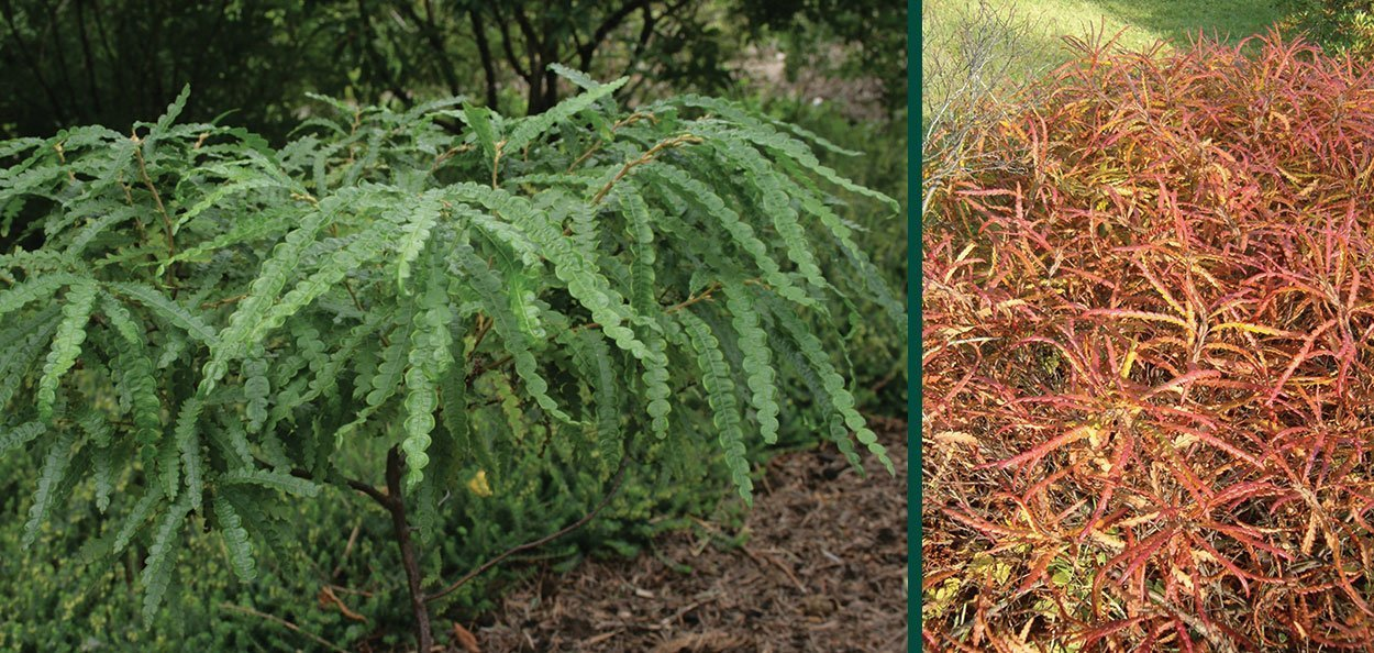 sweet fern comptonia peregrina wisconsin native shrub fall color