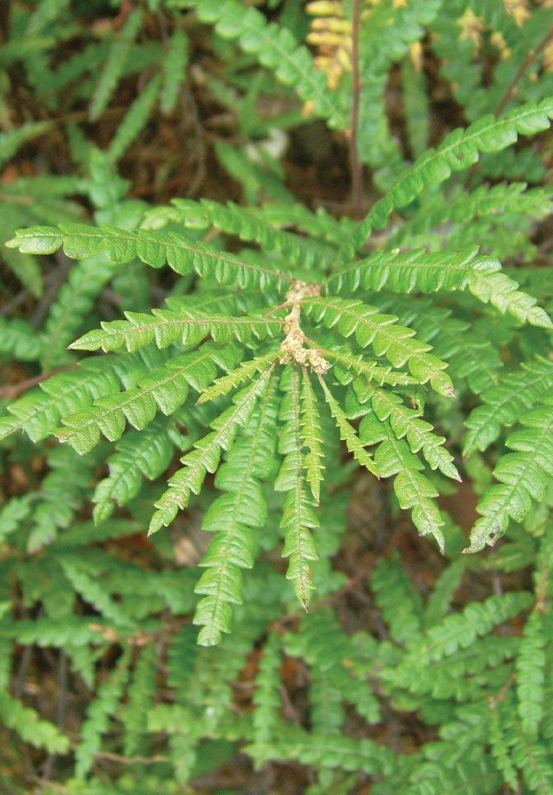 sweet fern comptonia peregrina wisconsin native shrub ftimg