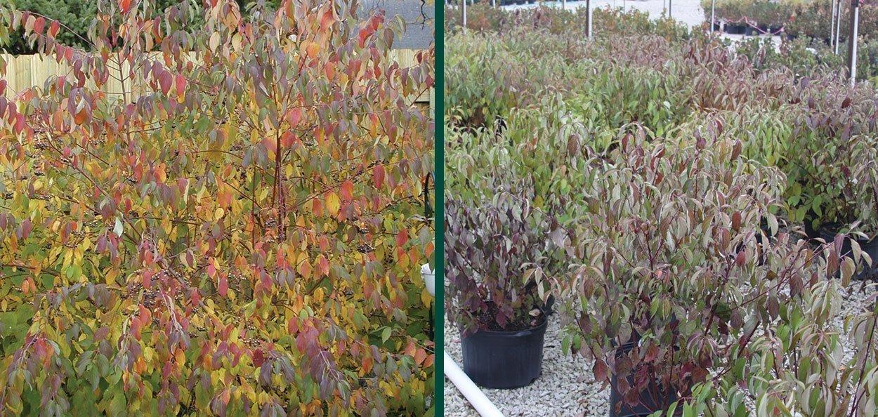 variable fall color on silky dogwood cornus amomum wisconsin native shrub