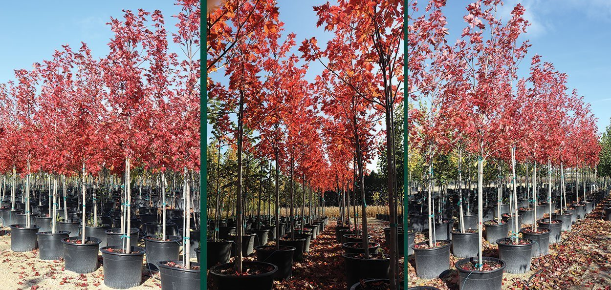 acer freemanii jeffersred #25 container autumn blaze maple trees in fall color at johnson's nursery in wisconsin