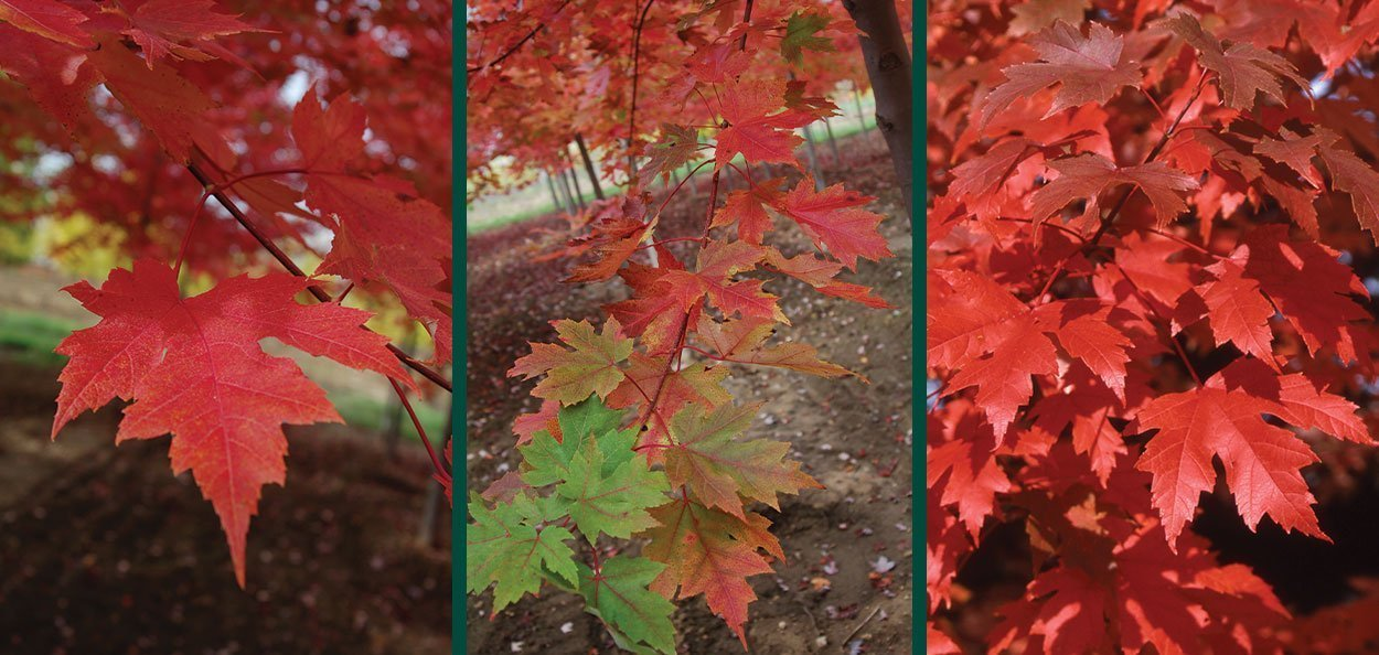 acer freemanii jeffersred autumn blaze maple fall red color leaves
