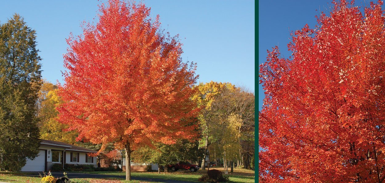 acer freemanii jeffersred autumn blaze maple trees in the landscape and red fall color canopy