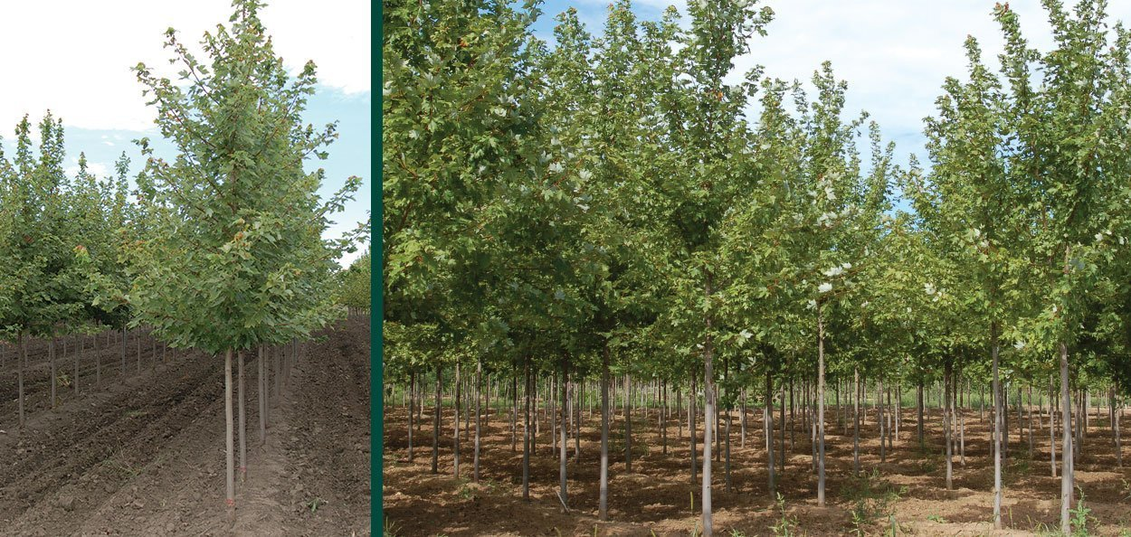 acer freemanii jeffersred field grown autumn blaze maple trees at johnson's nursery in wisconsin