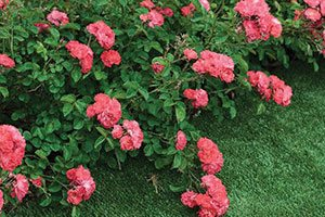 coral drift rose rosa catalog