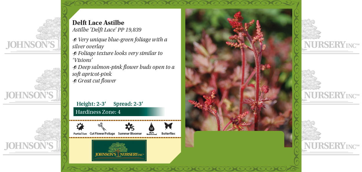Delft Lace Astilbe Astilbe x 'Delft Lace' PP19,839 benchcard