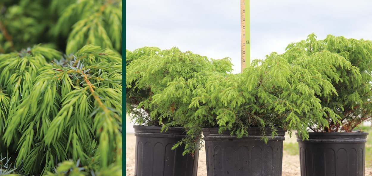 find #2 container oldfield common juniper for sale at johnson's nursery native conifer evergreens