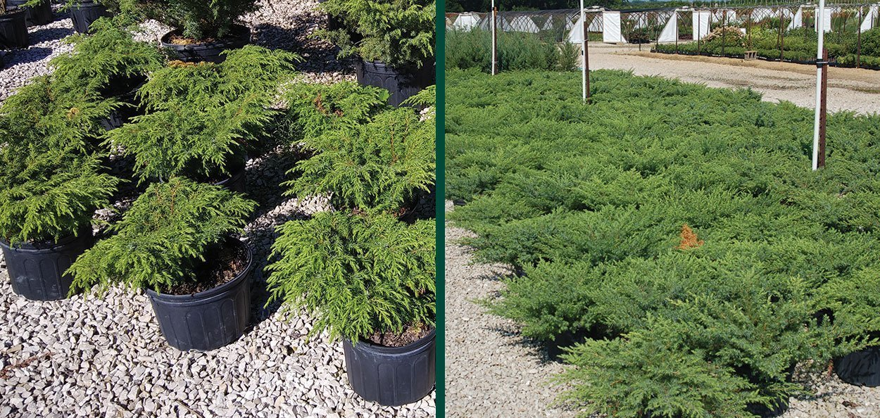 find oldfield common juniper #3 containers for sale at johnson's nursery