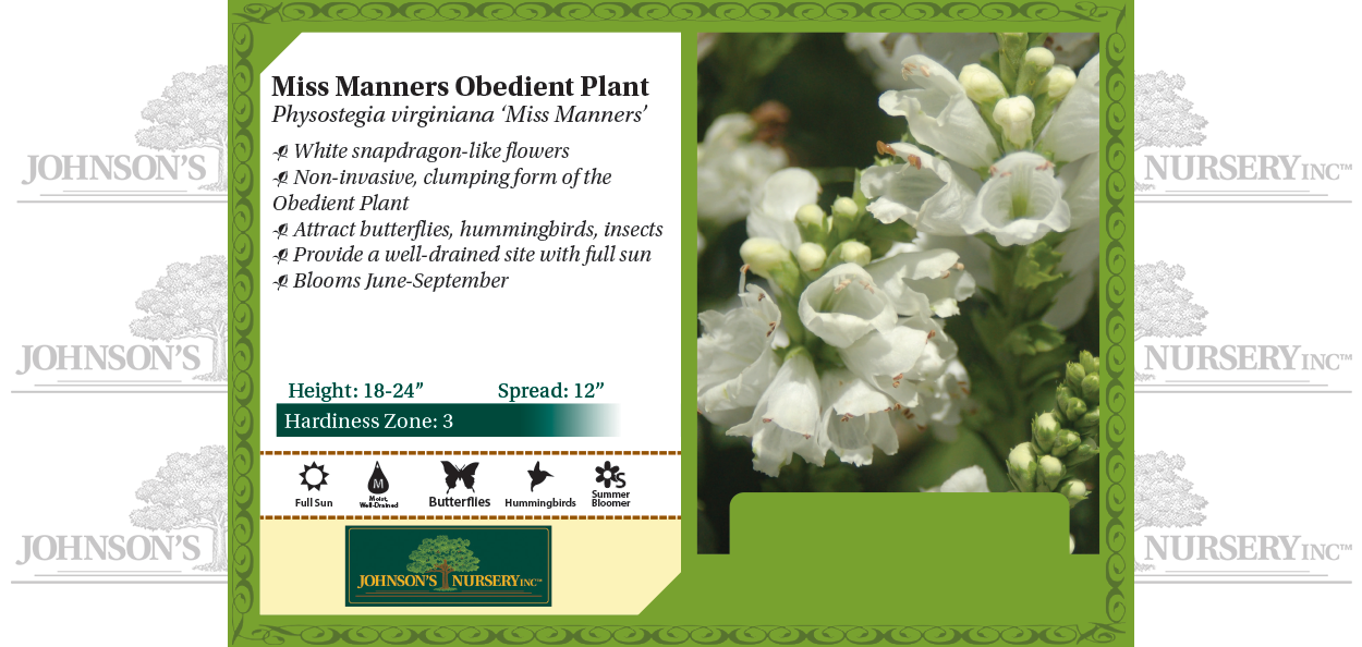 miss manners obedient plant physostegia virginiana white flower snapdragon perennial benchcard
