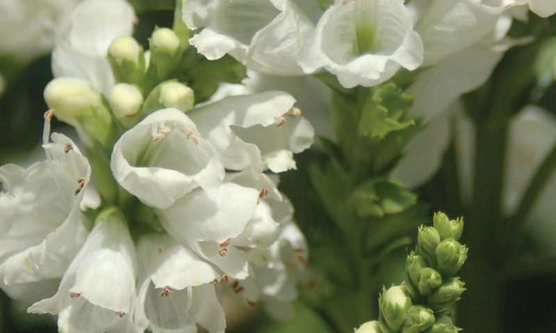 miss manners obedient plant physostegia virginiana white flower snapdragon perennial ftimg