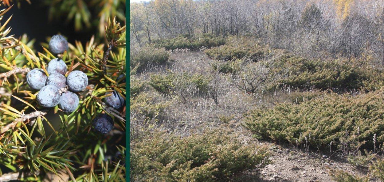 natural restoration oldfield common juniper and common juniper berries fruit