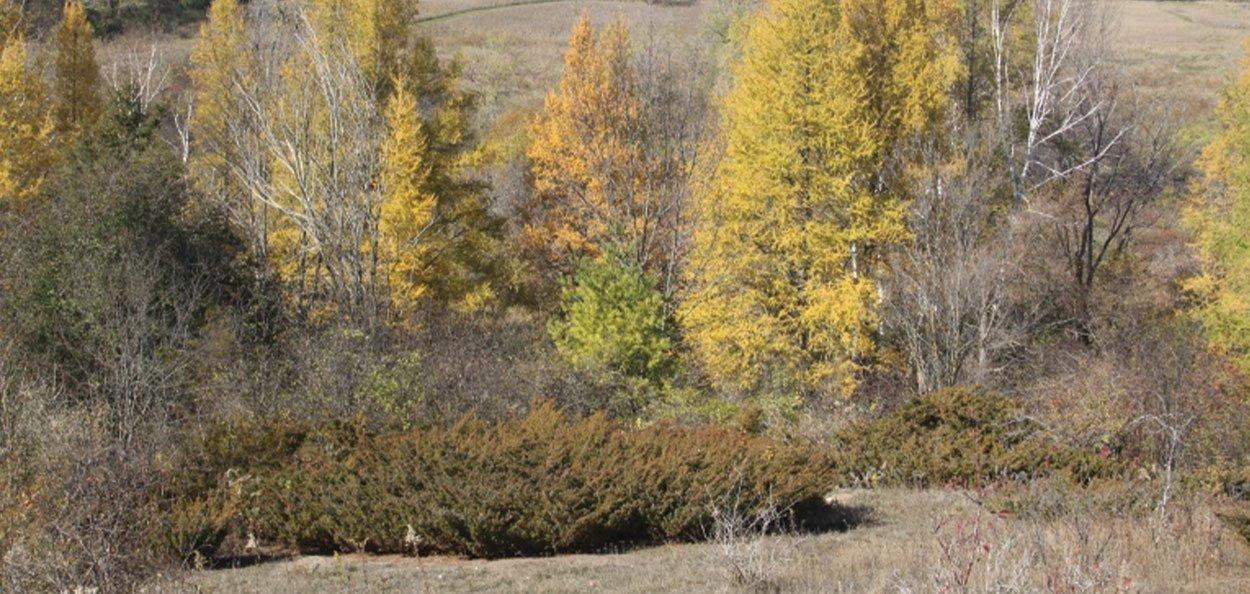 natural restoration oldfield common juniper juniperus communis var depressa in the wild