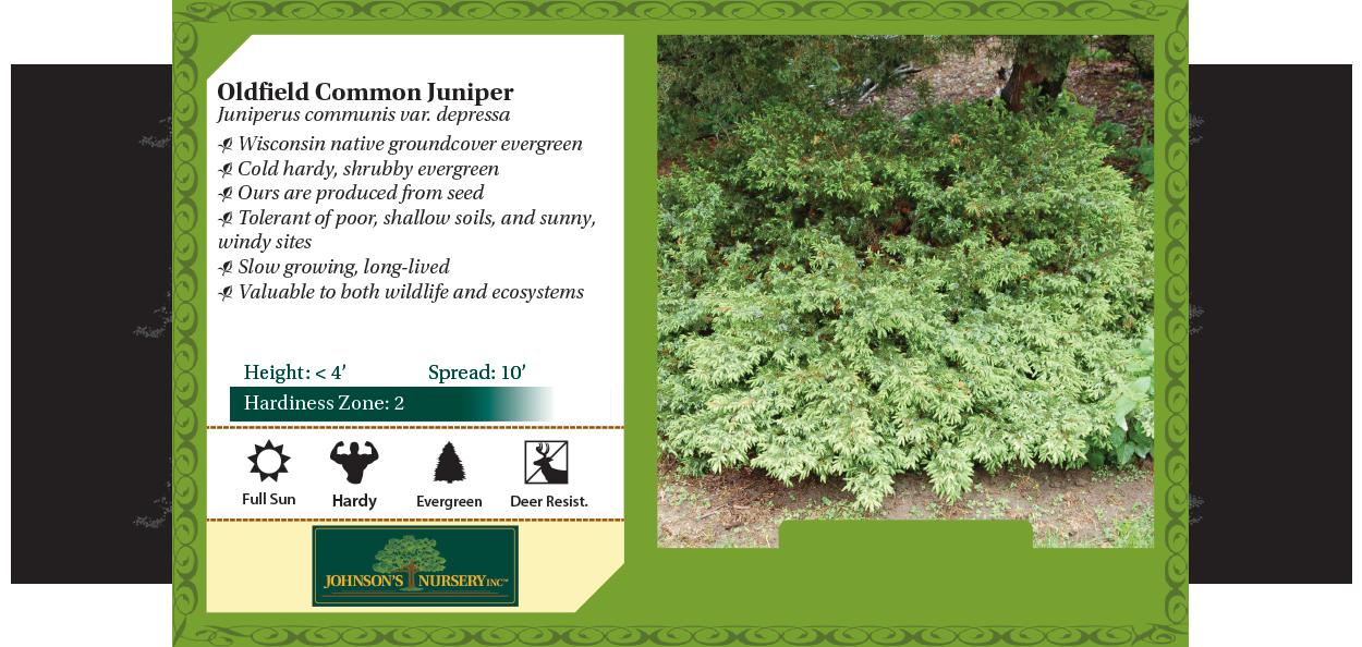oldfield common juniper, canadian juniper juniperus communis depressa benchcard