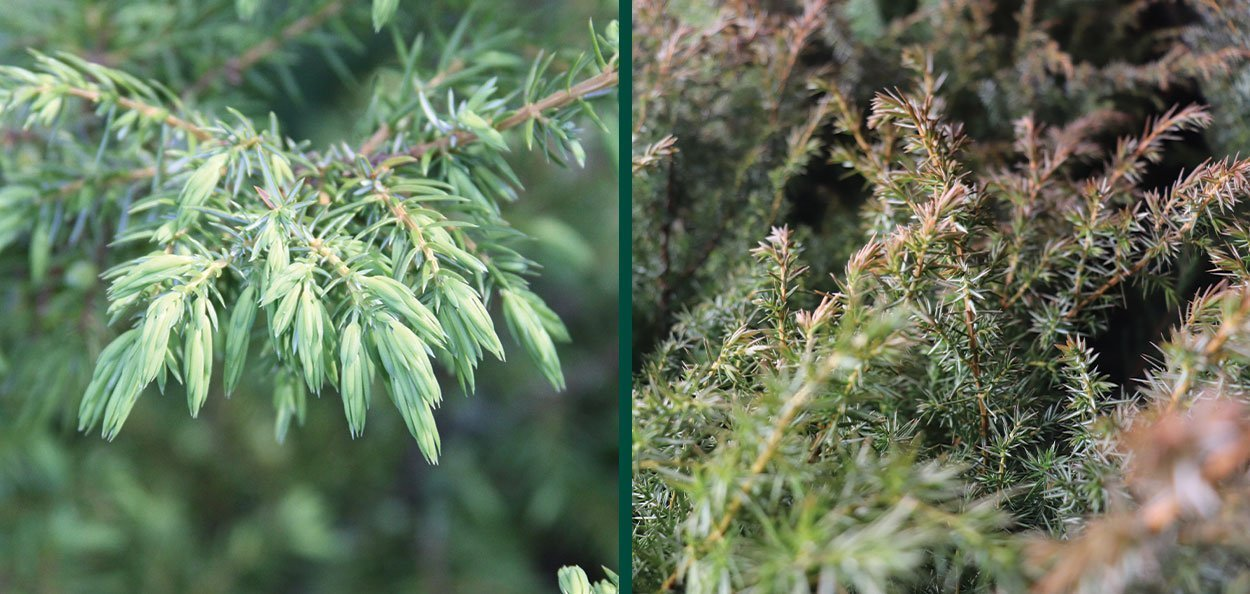common native juniper new growth fall color foliage comparison