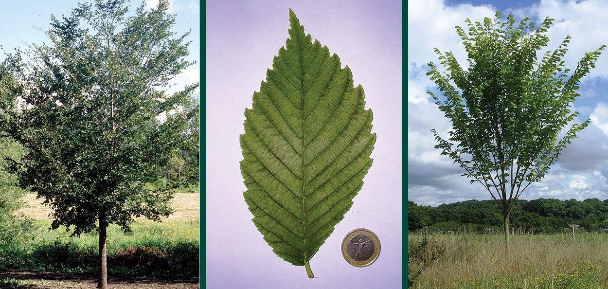 princeton elm ulmus americana branching leaf structure
