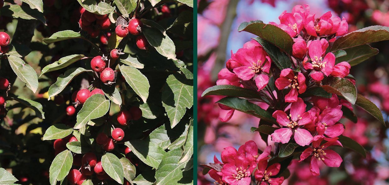 raspberry spear crabapple malus bird fruit pink magenta flower crab apple