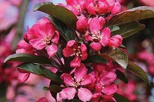 raspberry spear crabapple malus catalog