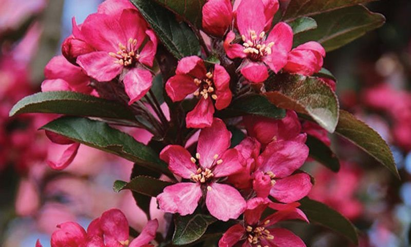 raspberry spear crabapple malus ftimg