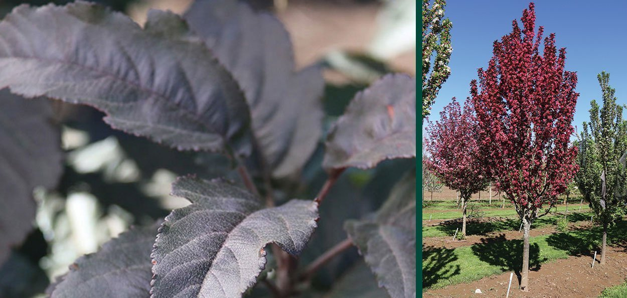 raspberry spear crabapple malus purple leaf foliage upright columnar tall crab apple
