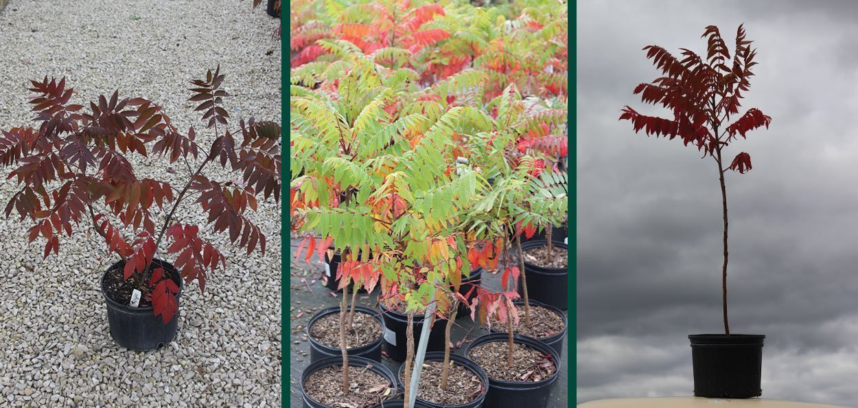 smooth sumac rhus glabra for sale at johson's nursery #2 container variable sizes