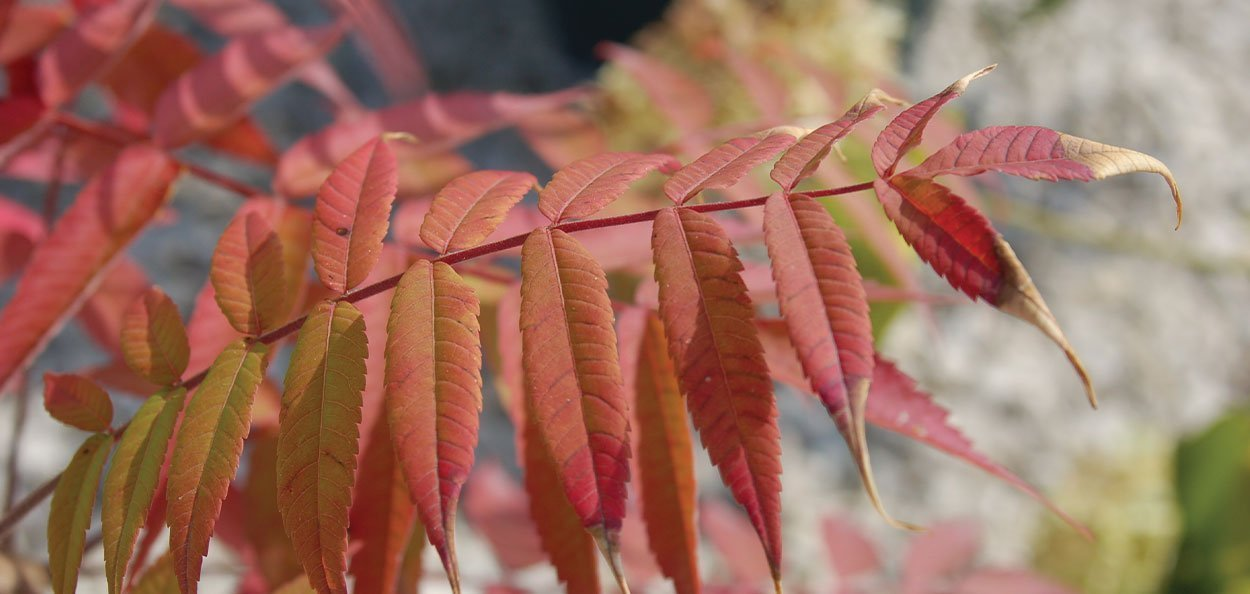 smooth sumac rhus glabra wisconsin native sumac green oblong lanceolate leaflets red fall color
