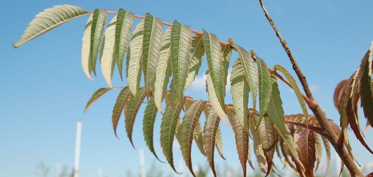 smooth sumac rhus glabra wisconsin native sumac green oblong lanceolate leaflets